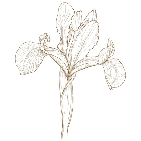 illustration with iris in vintage engraving style.