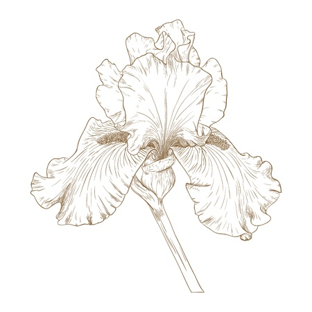 illustration with iris in vintage engraving style. Vector