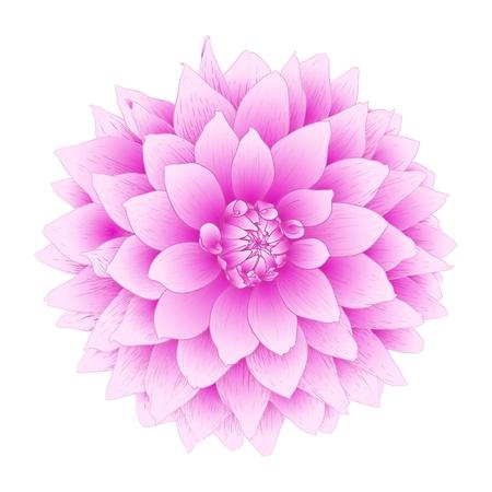 dalia: dalia flores aisladas sobre fondo blanco
