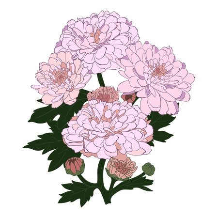 chrysanthemum flower in vintage engraving style. Vector