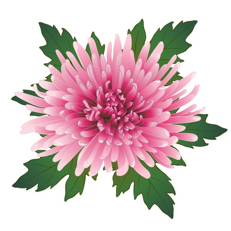 aster: Vector illustration with pink chrysanthemum flower and leaves