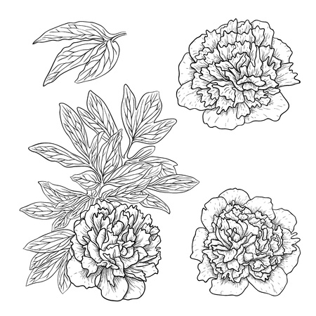 peonies: Vector set of peonies in vintage engraving style.