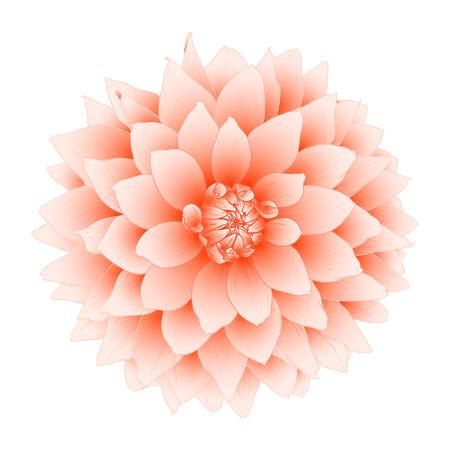 flor aislada: Vector dalia flores aisladas sobre fondo blanco. Vectores