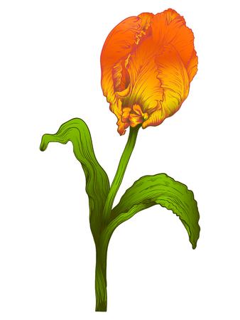 tulipe rouge: fleur rouge tulipe isol� sur fond blanc.