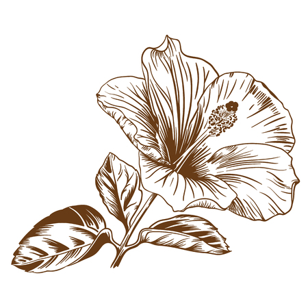 Vector illustration with hibiscus in vintage engraving style. Çizim