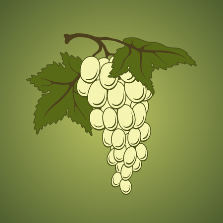 Vector white grapes with leaves on green background. Illustration