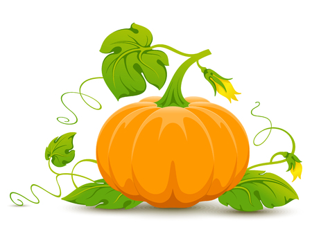 pumpkin leaves: Vector orange pumpkin isolated on white background.