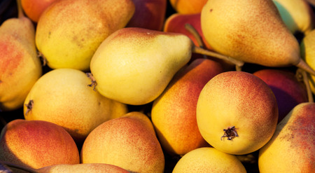 seasonal: Seasonal decorative autumn colorful pears. Harvest background.