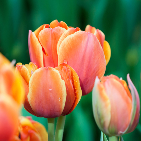Tulips: Red tulip flowers. Spring background. Shallow depth of field. Soft focus.