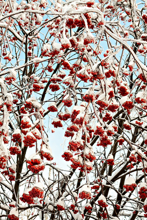 abnormal: Plant covered with ice and snow after freezing rain. Natural  background.