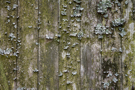 Lichen on an old bamboo fence. Wooden background. 免版税图像