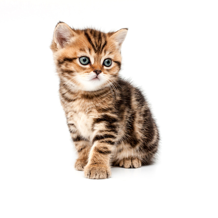 British short hair kitten isolated on white background.