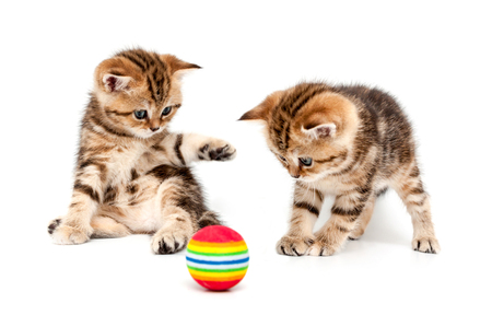 Kittens plays a ball isolated on a white background. British short hair cat. Stock fotó
