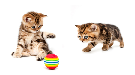 Kittens plays a ball isolated on a white background. British short hair cat. Banque d'images