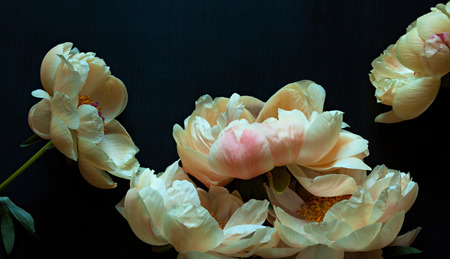 Beautiful pink and white peonies on dark background.
