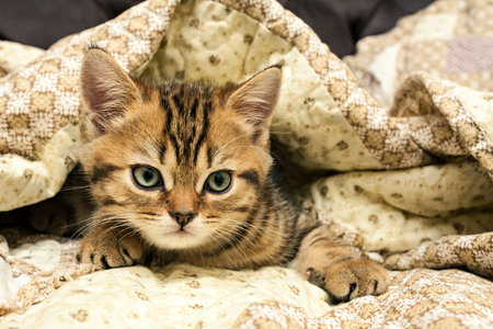 Kitten lies under a blanket. British short hair cat.