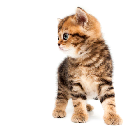Kitten isolated on a white background. British short hair cat.