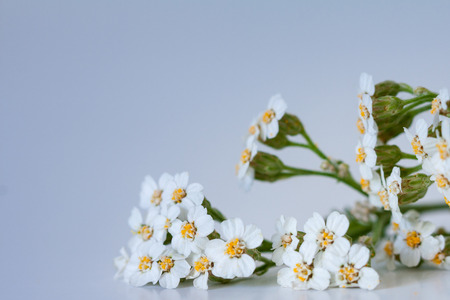 Achillea flowers on a blue background. Shallow depth of field.