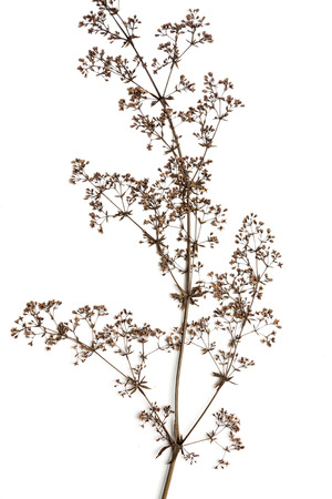 Dry flower isolated on a white background. 免版税图像