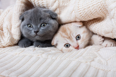 Cute british lop-eared kittens under a knitted plaid.