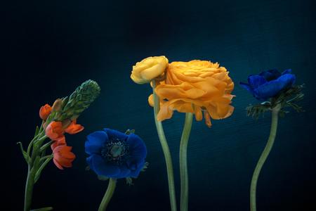 Nahaufnahme von orange Ornithogalum, Ranunculus, Anemonenblüten auf dunklem Hintergrund.