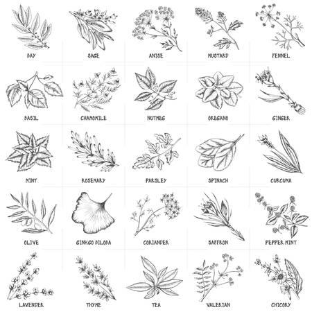 Hand getrokken vector set van kruiden en specerijen vintage illustraties. Keuken en drugs planten collectie. Baai, salie, anijs. venkel, basilicum, kamille, nootmuskaat, oregano, gember, munt, rozemarijn, peterselie, spinazie, kurkuma, olijf, ginkgo biloba, koriander, saffraan,