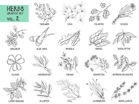 tarragon: Hand drawn vector set of herbs and spices vintage illustrations. Kitchen and drug plants collection.