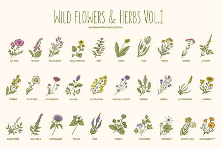 herb medicine: Wild flowers and herbs hand drawn set. Volume 1. Botany. Vintage flowers. Vector illustration in the style of engravings. Illustration
