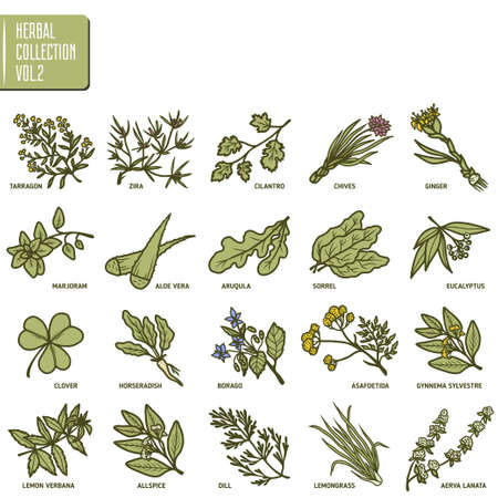 marjoram: Hand drawn vector set of herbs and spices vintage illustrations.