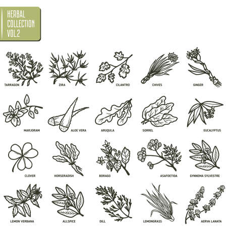 sorrel: Hand drawn vector set of herbs and spices vintage illustrations.