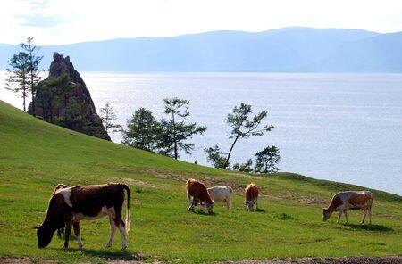 Calm Baikal lake, five cows on the meadow photo