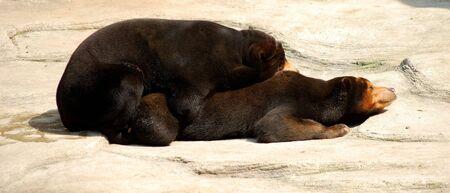 making love: Dos osos hacer el amor