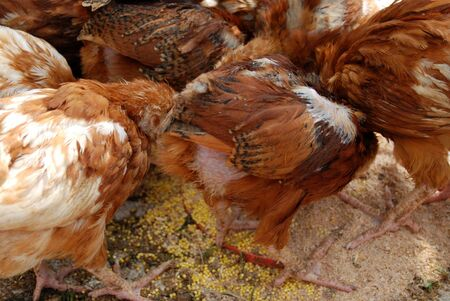 poultry in the coop photo