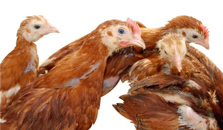 Group of hens isolated on white. Stock Photo - 4727198