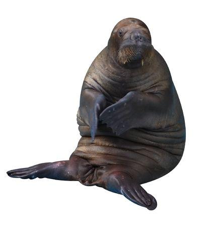 Walrus  Stock Photo