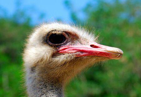 Ostrich photo