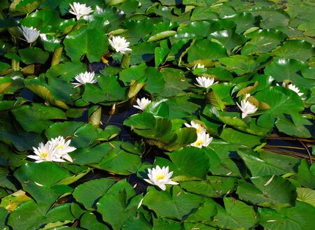 Group of lotuses photo