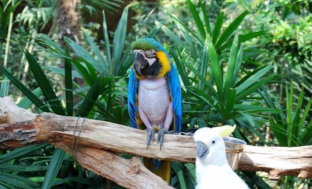 the two parrots: Two parrots. Front view. Forest on background.  Stock Photo