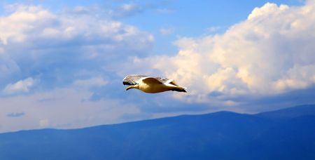 Flying seagull against cloudy sky. Close up.