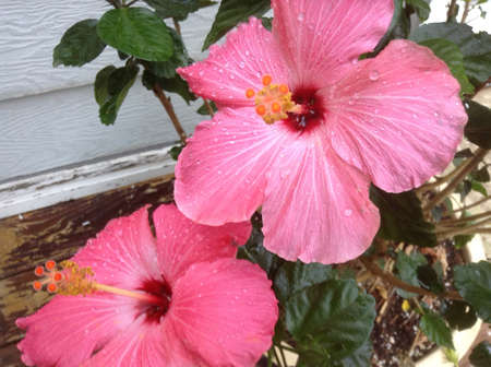 Pink hibiscus flower with water drops