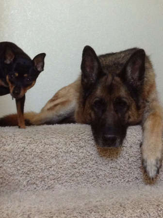 German Shepard and MinPin best friends