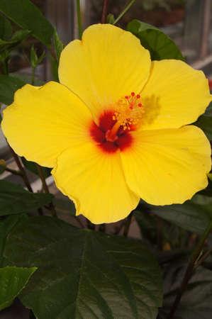 Hawaiian hibiscus yellow Imagens