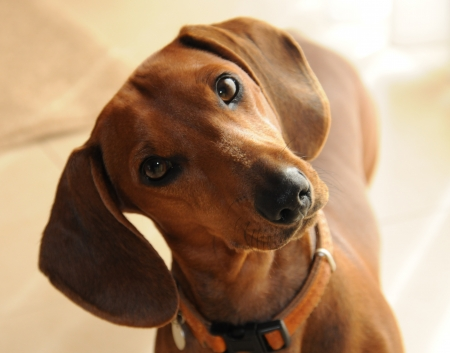 tilting: Dachshund tilting head Stock Photo