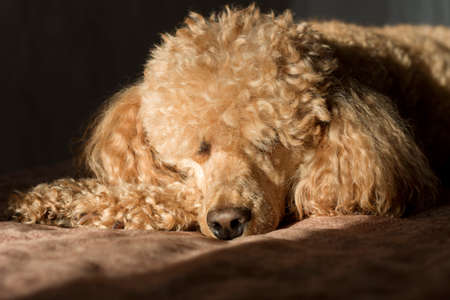 A curly fluffy brown poodle, lit by the bright sun, against a dark background.
