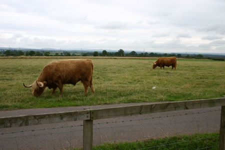 gretna green: Highland Cows at Gretna Green