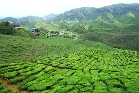 cameron: Tea Plantation at Sungei Palas  Stock Photo