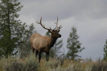a bull elk in yellowstone