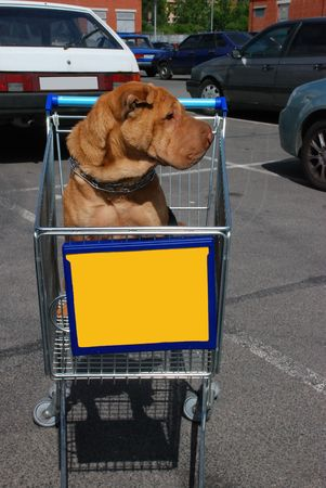 My beauty dog- Elza (shar-pei) wating for me at the parking, while I sopping. photo