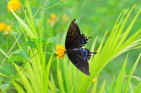 yarrow: A black butterfly on a yellow yarrow  top 10 flowers butterflies like