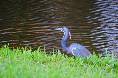 Blue egret is looking for food